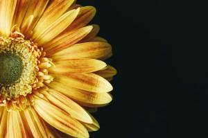 sunflower-2179011_1920